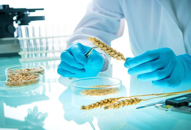 what is bad about GMOs
